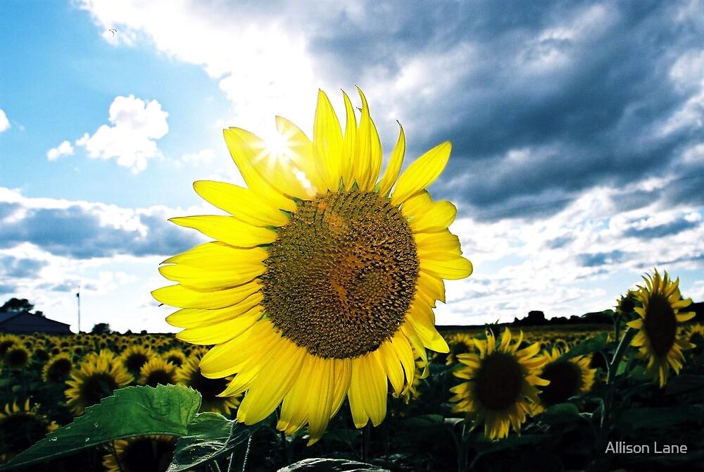 Sunny Sunflowers by Allison Lane