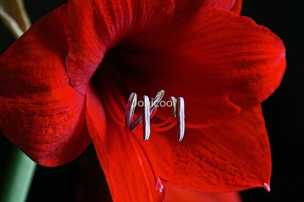 Red Amaryllis by Jonicool