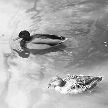 Ducks floating in Black and White by JonPaget