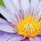 Water Lily by Norbert Rehm