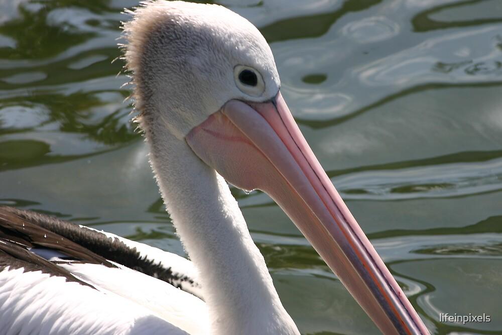 Pelican by lifeinpixels