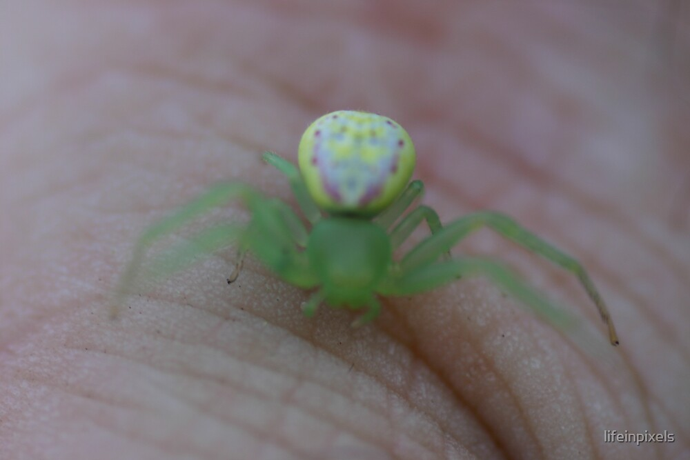 Little green spider by lifeinpixels