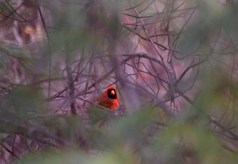 Peeking Cardinal by Rod  Adams