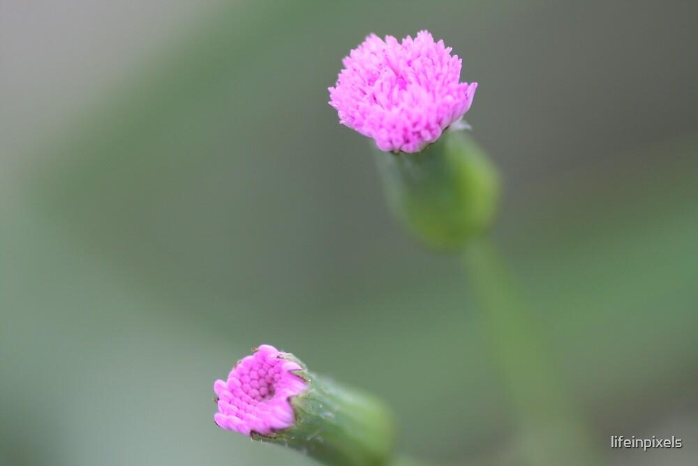 Flower in bloom 2 by lifeinpixels