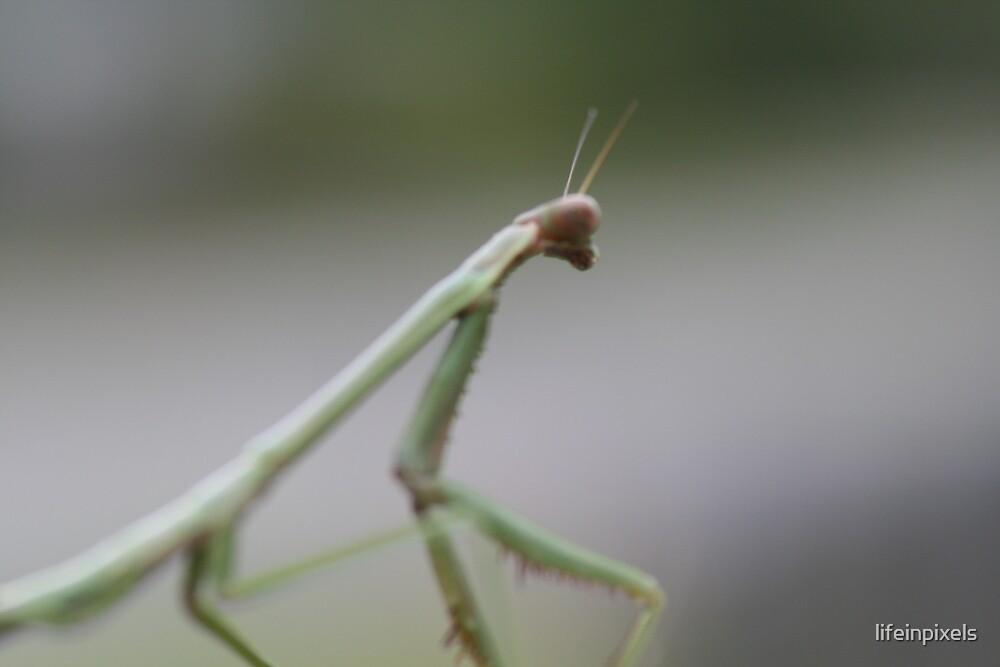 Praying mantis by lifeinpixels