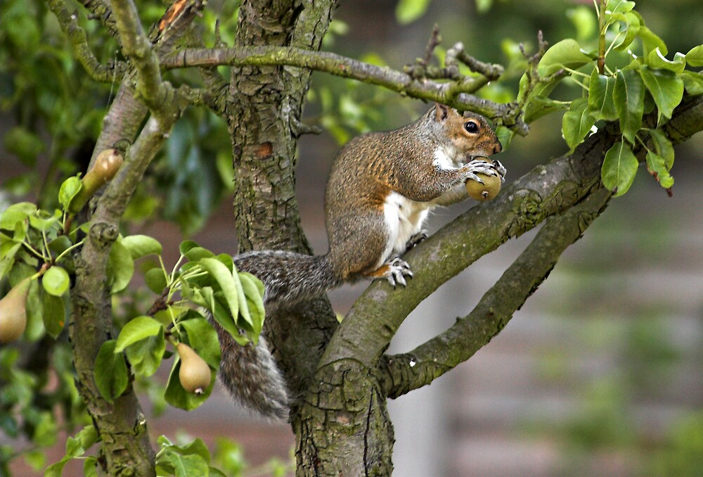 Squirrel Scrumping Conference Pears by kitlew