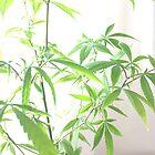Portrait of a Marijuana Plant by Jenna Jade