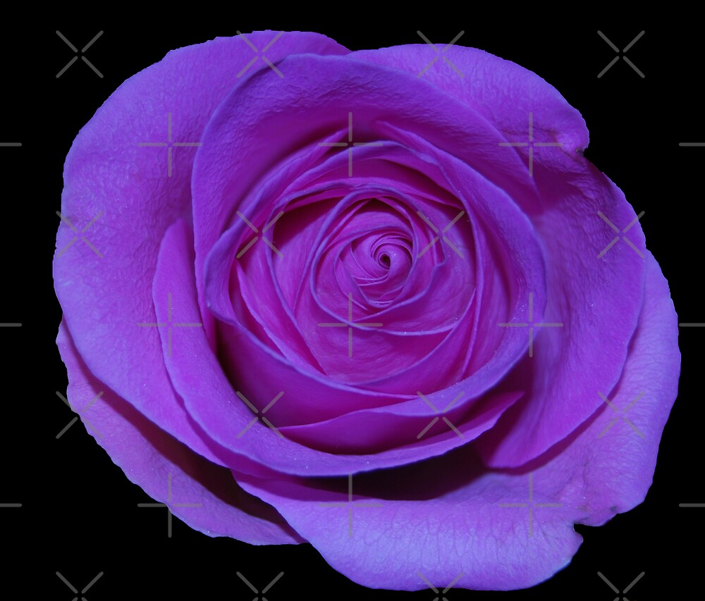 Purple Rose by Peter Green