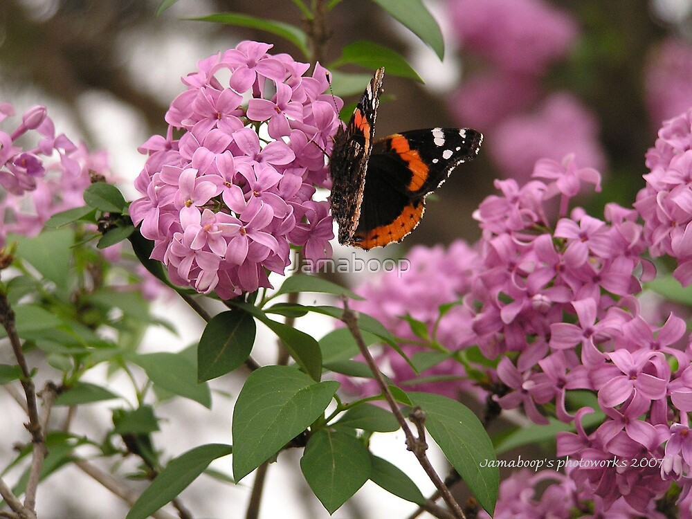 On a Lilac in spring by Jamaboop