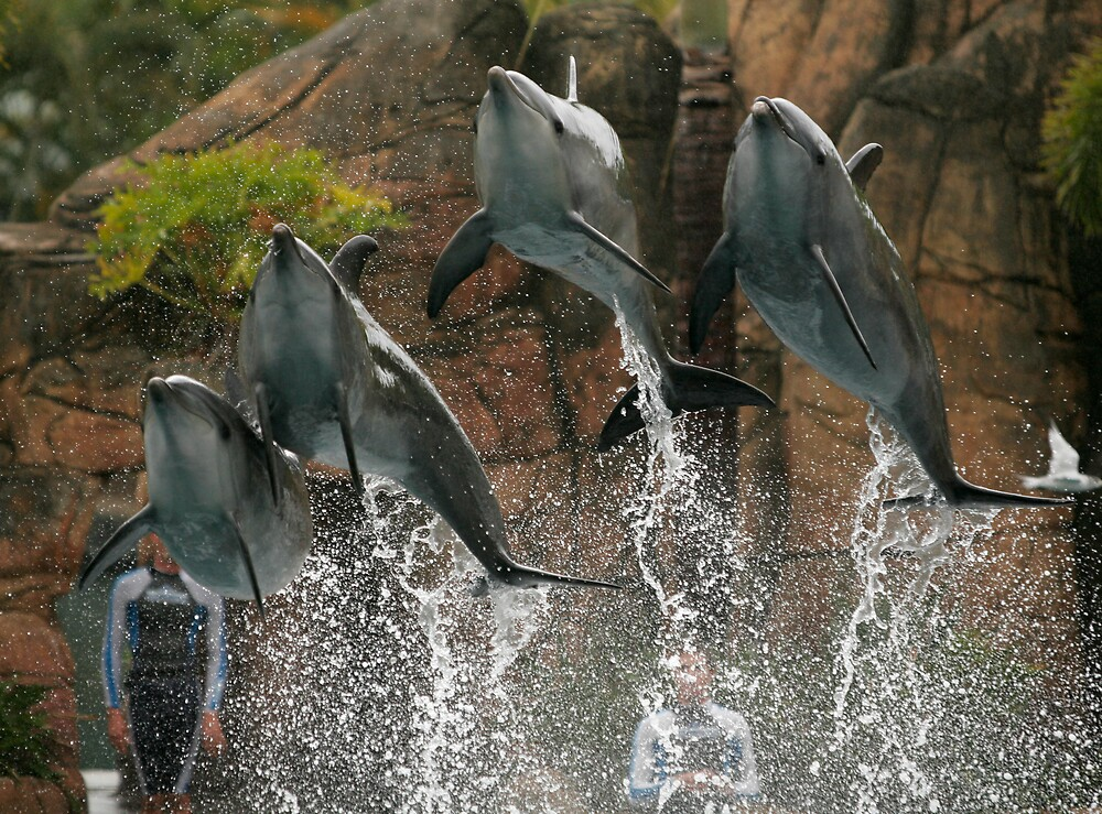 Sea World Dolphins by David Collopy