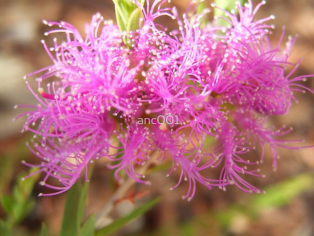 Melaleuca decussata by anc001