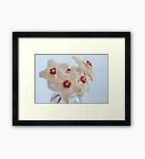 Nectar on Hoya flowers Framed Print