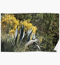 agave Plant with spiny leaves   Poster