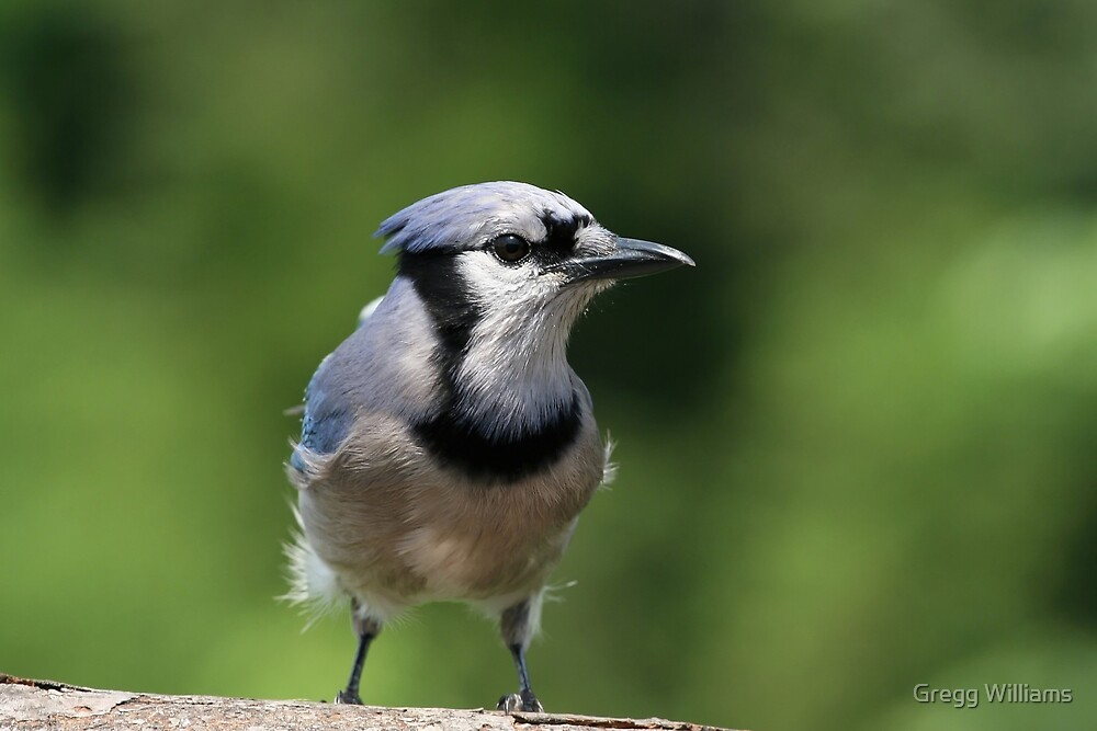 Blue Jay by Gregg Williams