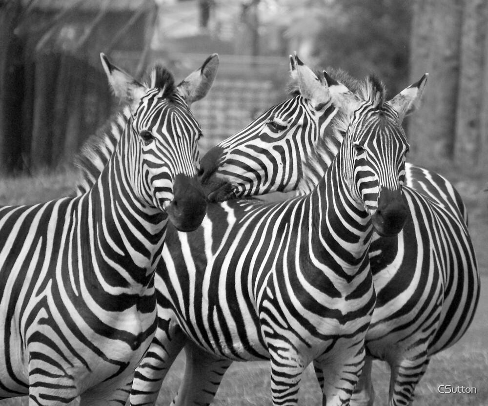 Zebras by CSutton