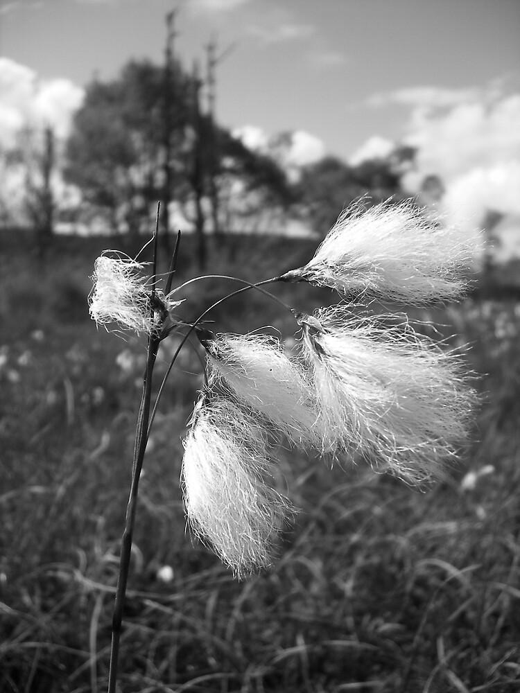 Cotton flower 3 by gemmagrace
