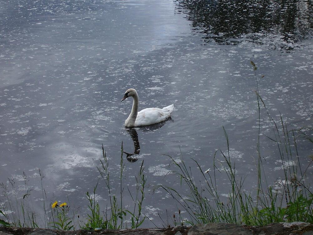 Swan swims through the petal-strewn water by TeeJay