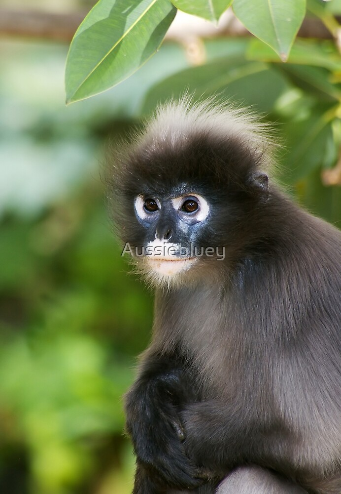 Dusky Leaf Monkey by Aussiebluey