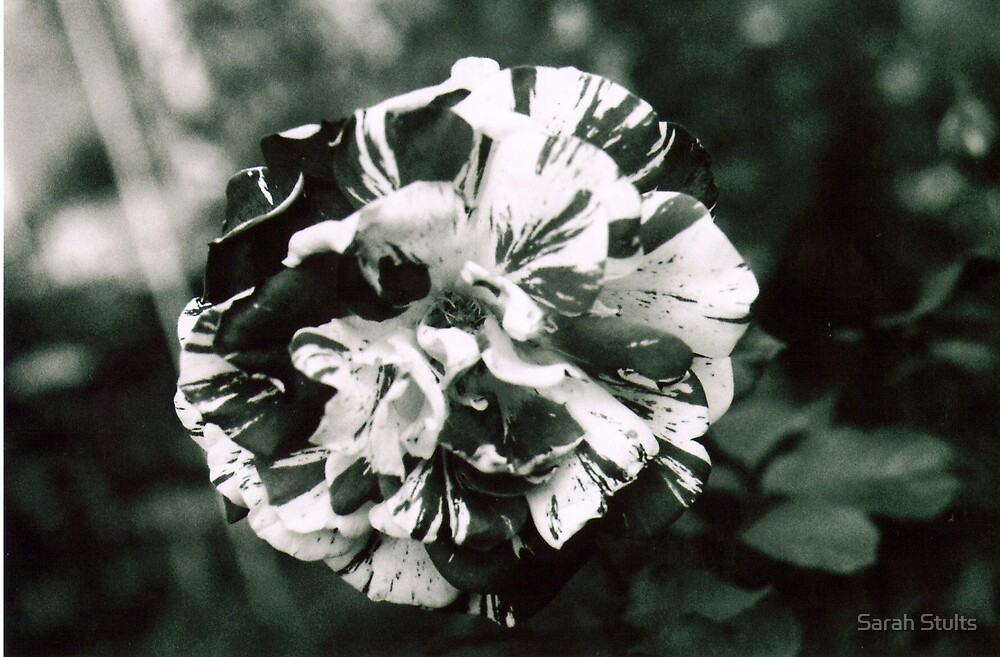 Rose in Black and White by Sarah Stults