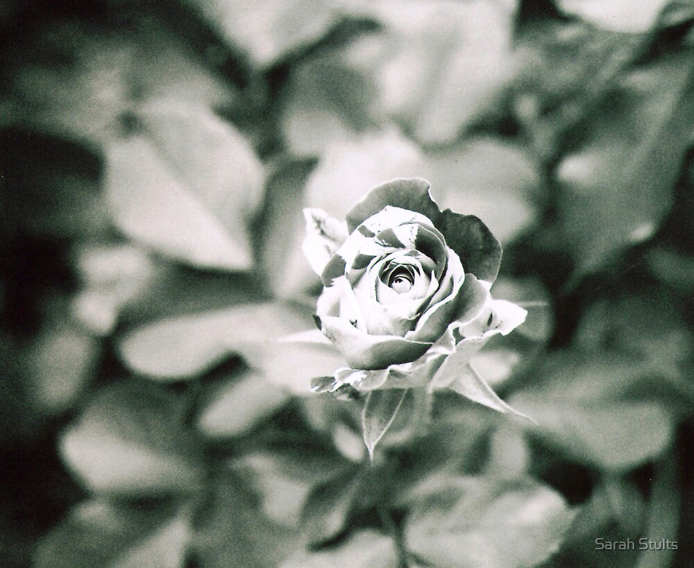A Rose About to Bloom by Sarah Stults