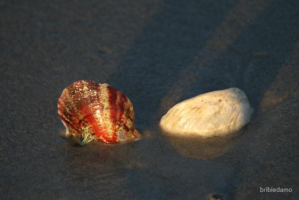 Shells by bribiedamo
