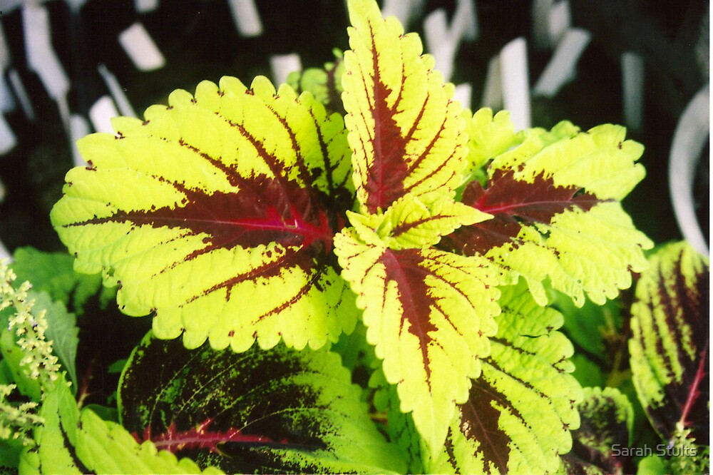 Kong Coleus by Sarah Stults