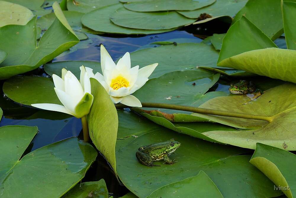 Frogs sitting on the water lily pads by lvinst