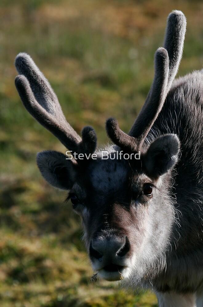 Reindeer by Steve Bulford