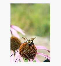 BEE WITH ECHINACEA Photographic Print