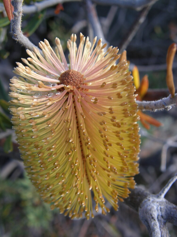 Freycinet Banksia by ThomasMcG