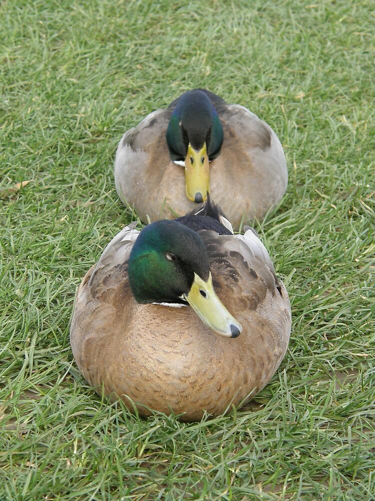 Comfy Ducks by ThomasMcG
