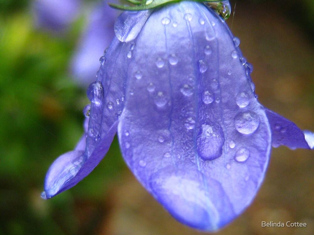 campanula in the rain by Belinda Cottee