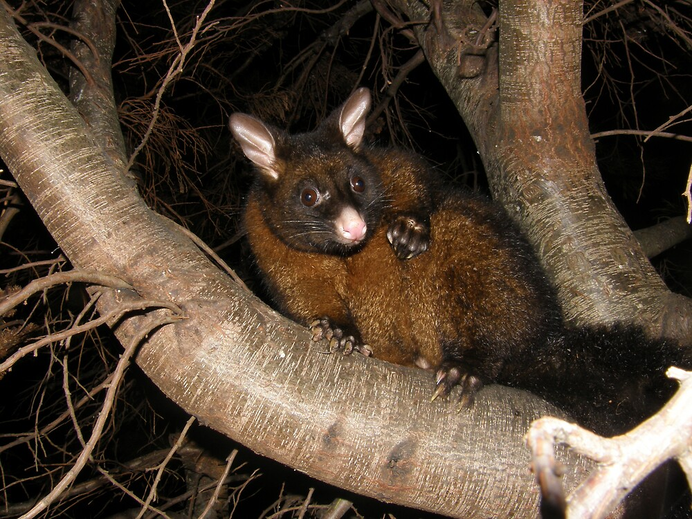 Posing Possum by ThomasMcG