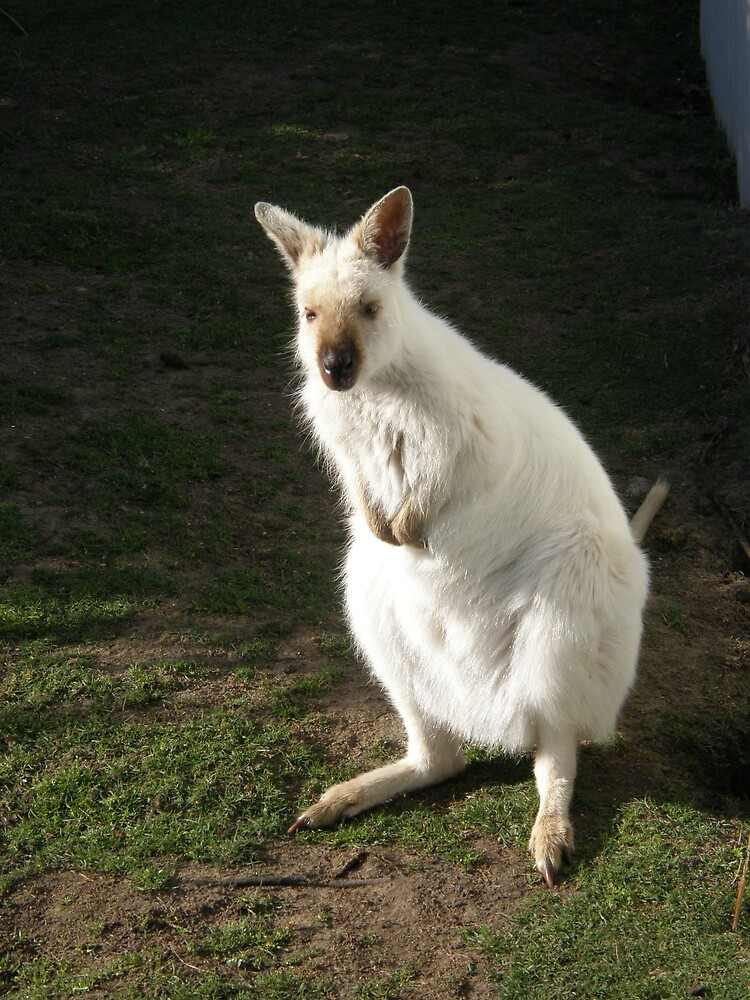 White Wallaby by ThomasMcG