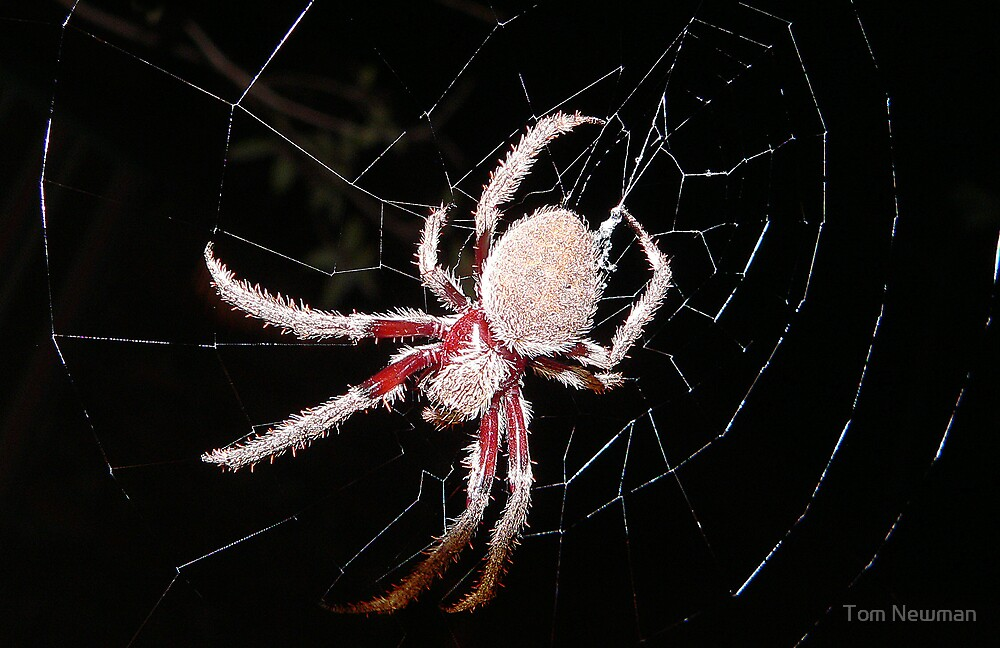 Orb Spider by Tom Newman