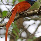 Paradise Flycatcher demonstrating long tail by jozi1