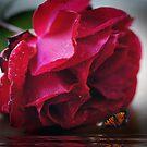 Dark red rose by Joyce Knorz