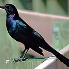 Male Grackle by glink
