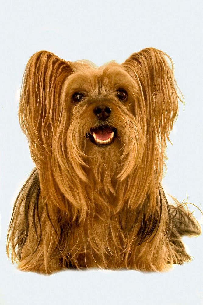 Yorkshire Terrier by Chris Clark
