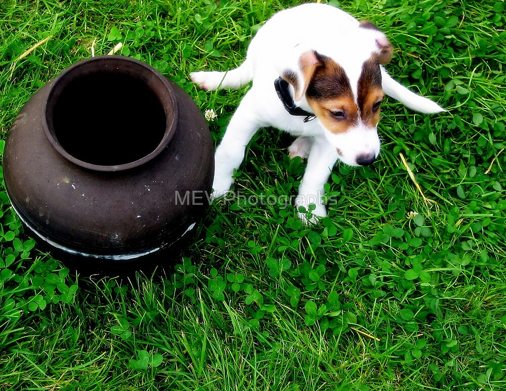 Pup & a pot by MEV Photographs