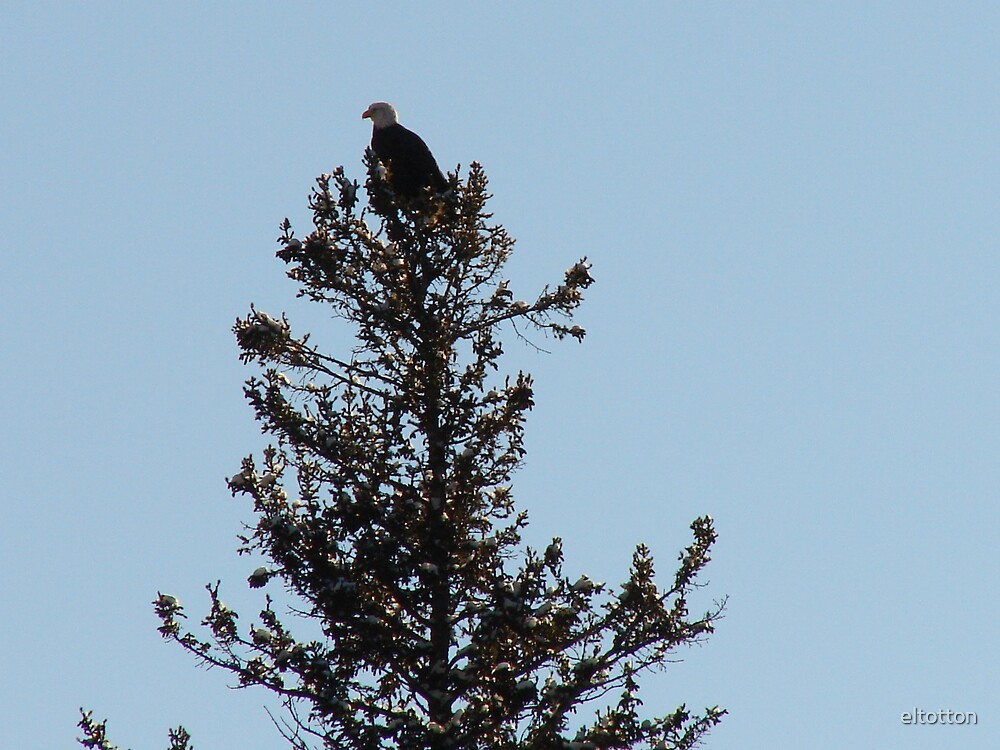 Eagle in the Tree Top by eltotton