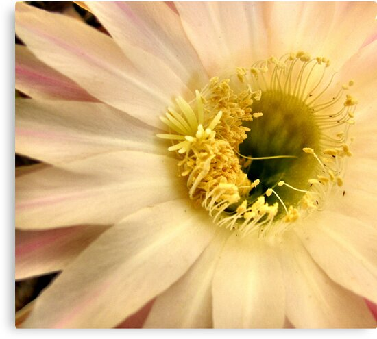 Cactus Flower by Rachael Taylor