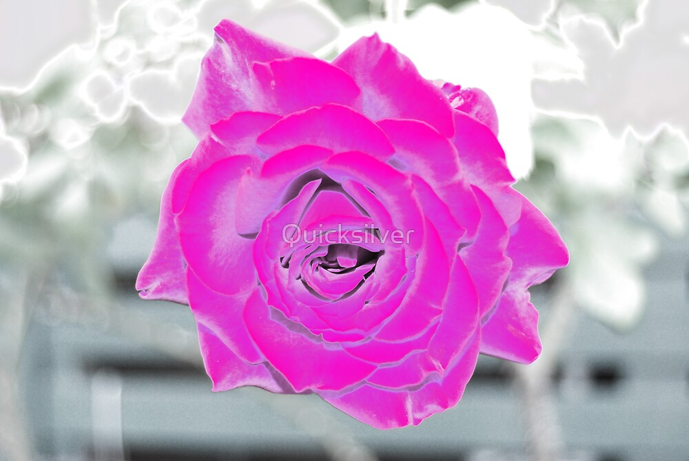Winter Rose by Quicksilver