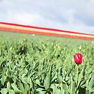 Tulip Time by Alexh