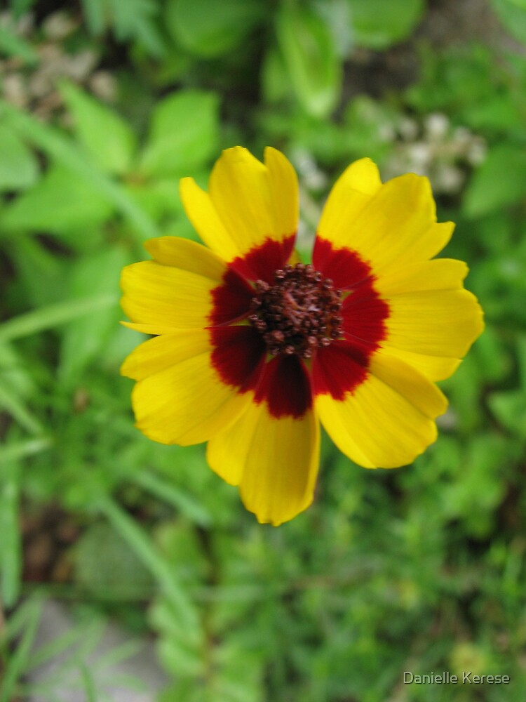 coreopsis Photograph by Danielle Kerese