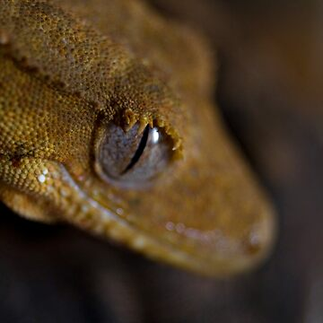 the broken crested gecko by ladytwiglet