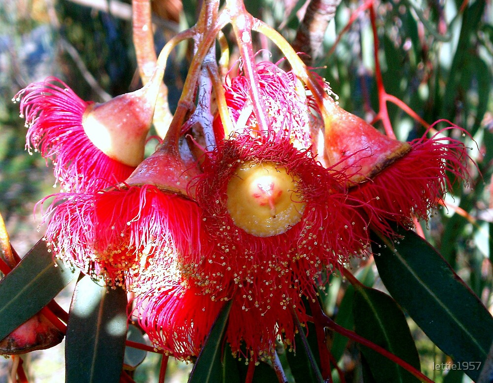 Red Flowering Gum Flowers  by lettie1957