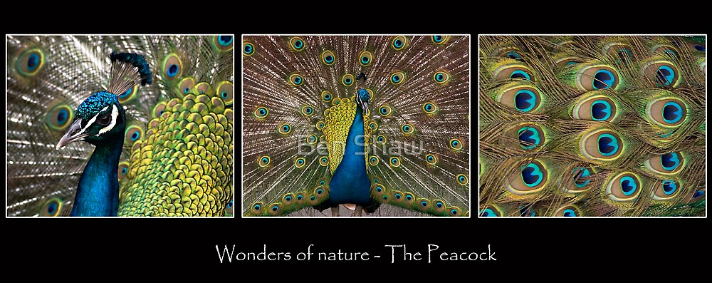 Wonders of Nature - The Peacock by Ben Shaw