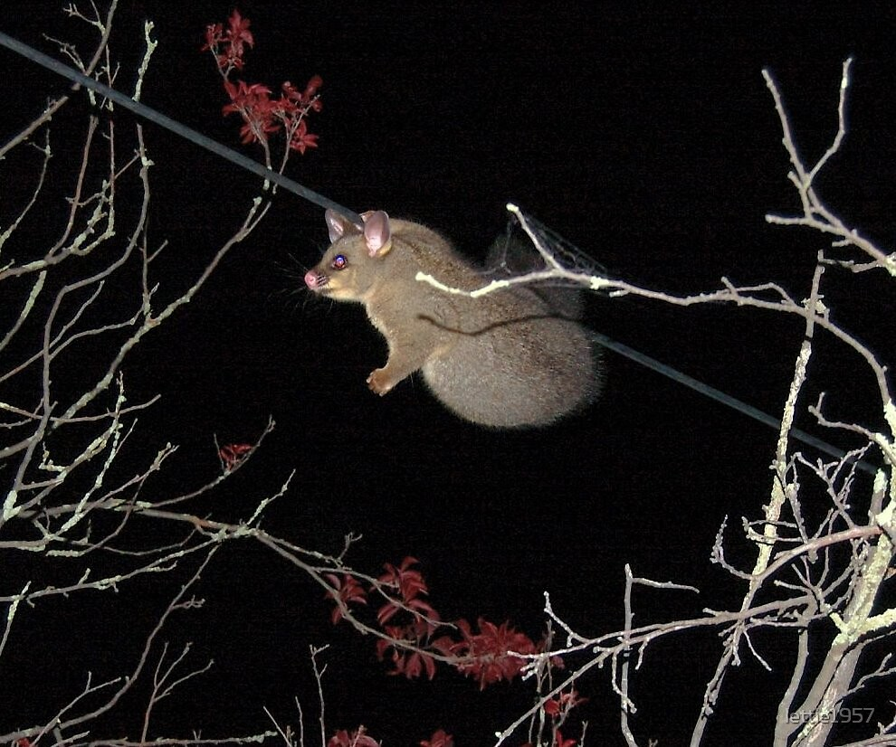 possum on the wire  by lettie1957