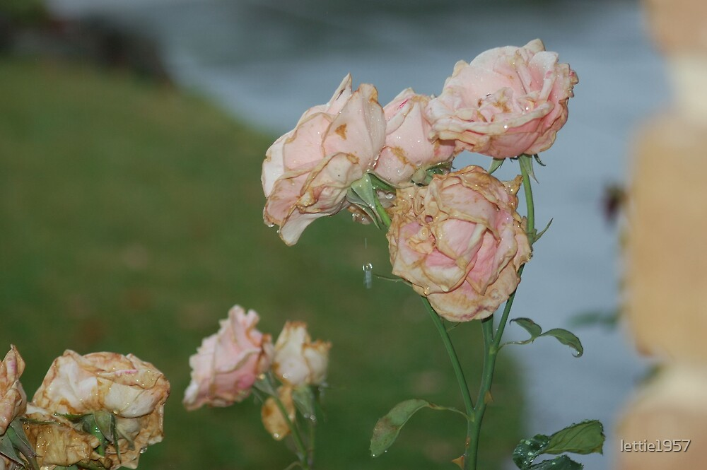 Drops of Rain on Roses  by lettie1957